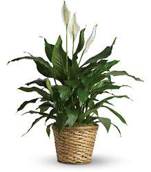 Simply Elegant Spathiphyllum  from Schultz Florists, flower delivery in Chicago